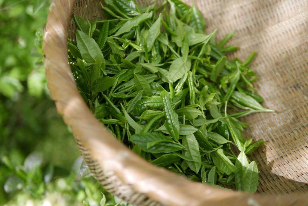 yeşil çay cilt bakımı